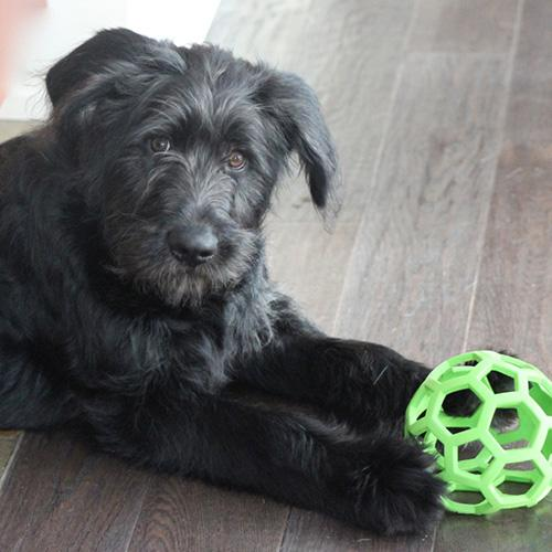 black puppy with green toy lying on hardwood floor