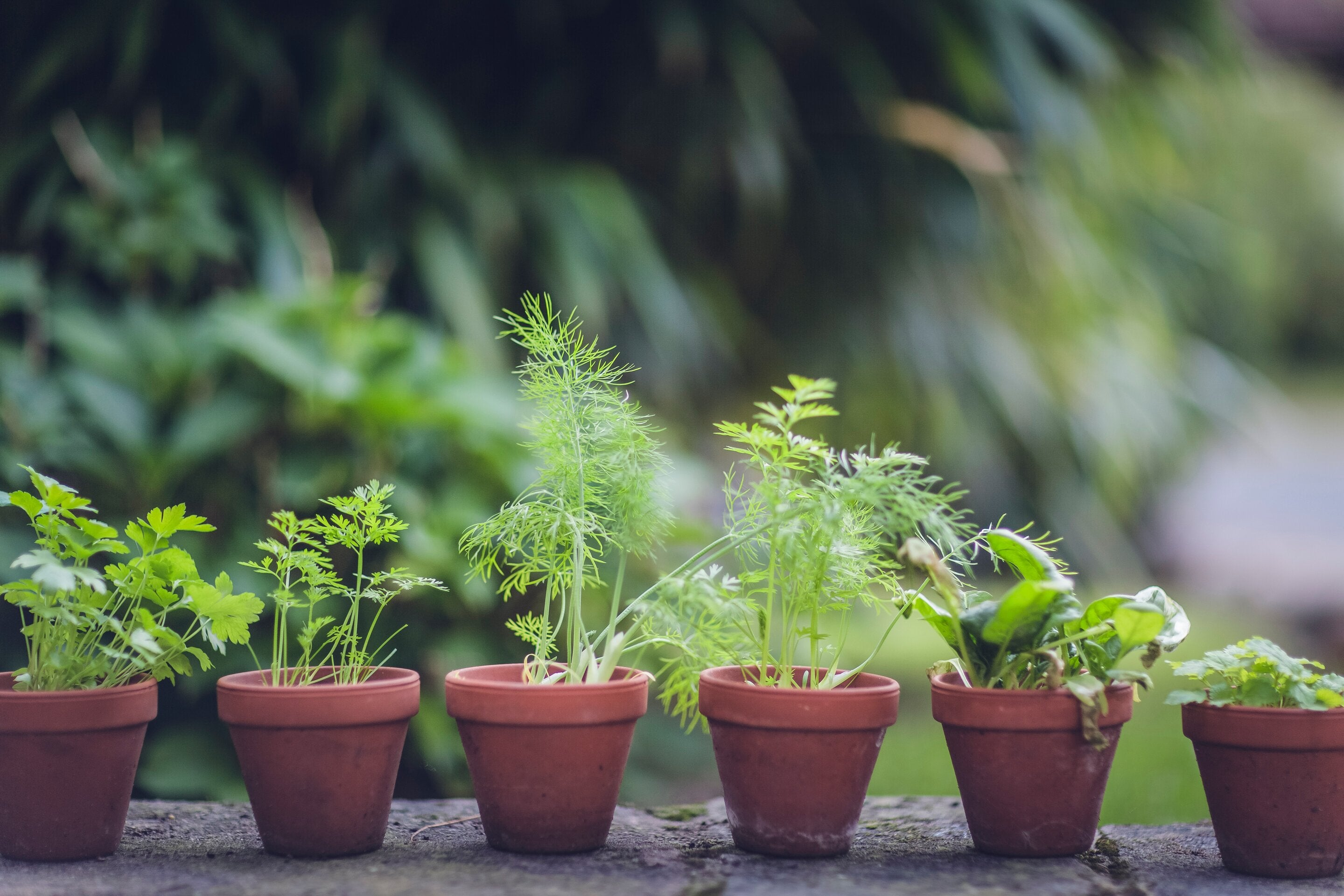 Starter plants or young plants are quicker and better to grow than seeds