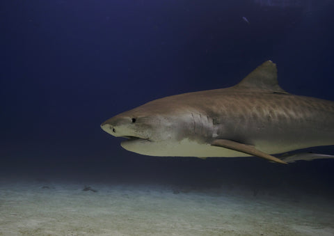 Tiger Shark Dive Included on Hollywood Divers Fiji Dive Trip
