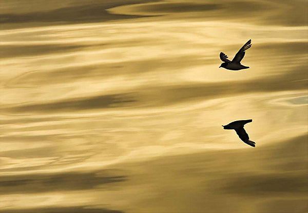 Reflection Wall Mural-The evening sun has a silky, golden effect on the water, while the reflection of a lone flying bird creates the illusion that there are two birds.