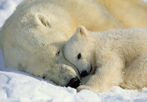 Polar Bears Wall Mural-a sleeping polar bear cub, cuddling with it's mama bear
