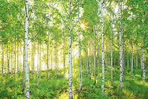 Sunday Wall Mural-a pristine forest of birches basks in golden light.