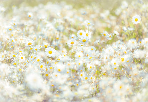 Daisies Wall Mural-field of white daisies