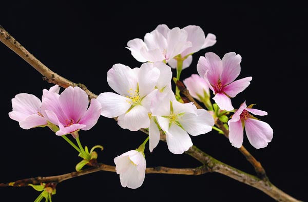 Cherry Blossoms Wall Mural-A branch of cherry blossoms against a black background