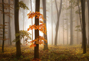 Foggy Autumn Forest Wall Mural-Light misty streaks peak through slender tree trunks, with fall foliage on ground.