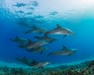 Underwater Dolphins Wall Mural-underwater scene of dolphin pod.