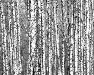 Wood for the Trees Wall Mural-Birch tree trunks overlap in this mural. done in black and white photography.