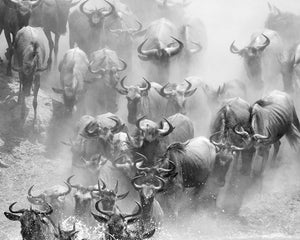 Stampede Wall Mural-black and white wildebeest stampede.