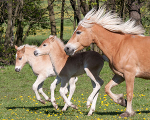 Ponies Wall Mural-mare and twins galloping through pasture with their manes flowing behind them