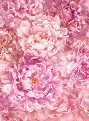 Soave Wall Mural-pink peonies unfurl their endless petals.
