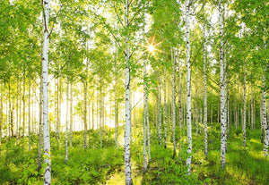 Sunday Mural-The sun drenched birch tree scene features a canopy of lush ferns and a bed of bright green grass.