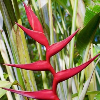 Heliconia Hot Rio Nights