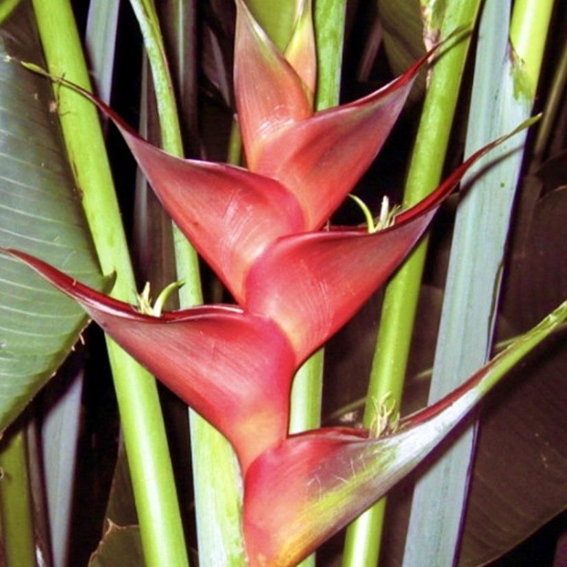 Heliconia Prince of Darkness