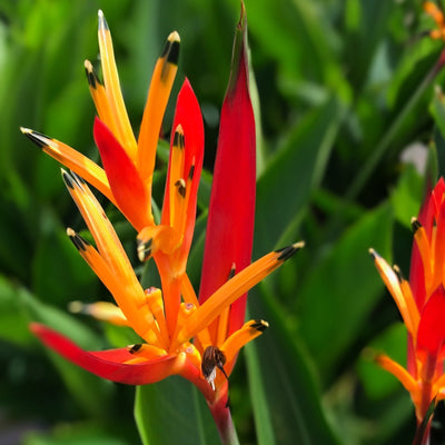 Heliconia Kathy