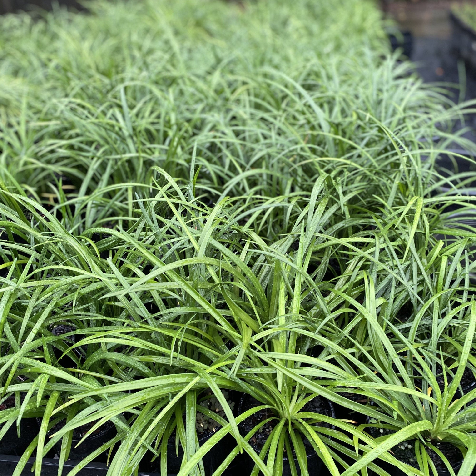 Liriope muscari Evergreen Giant