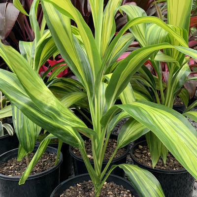 Cordyline Lemon Lime