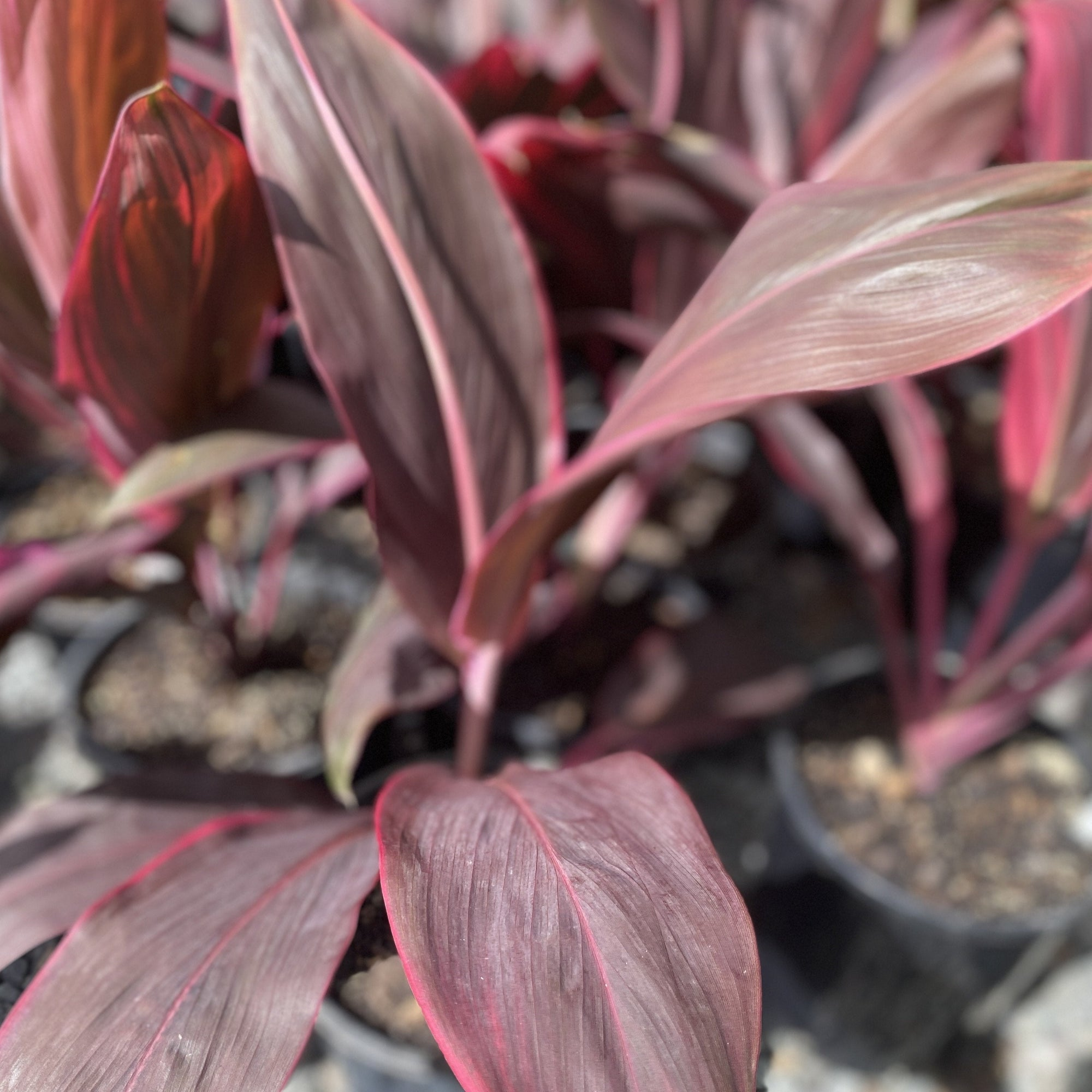 Cordyline Cherry Ripe
