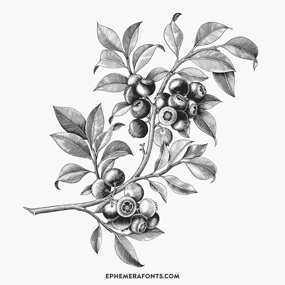 Blueberry Hand Drawing Vintage Engraving Illustration 01