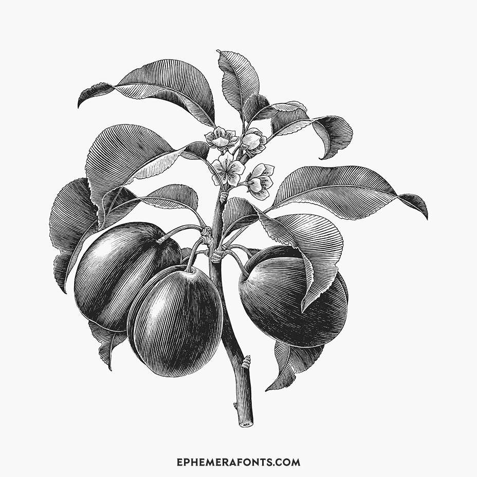 Plum & Branch Hand Drawing Vintage Engraving Illustration 01