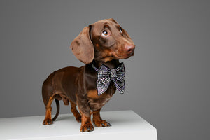 chocolate coloured dachshund wearing designer swarovski crystal sailor bow tie. Australia made in size S