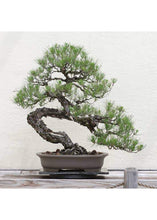 Load image into Gallery viewer, Bonsai Tree Grow Kit - Tigertree