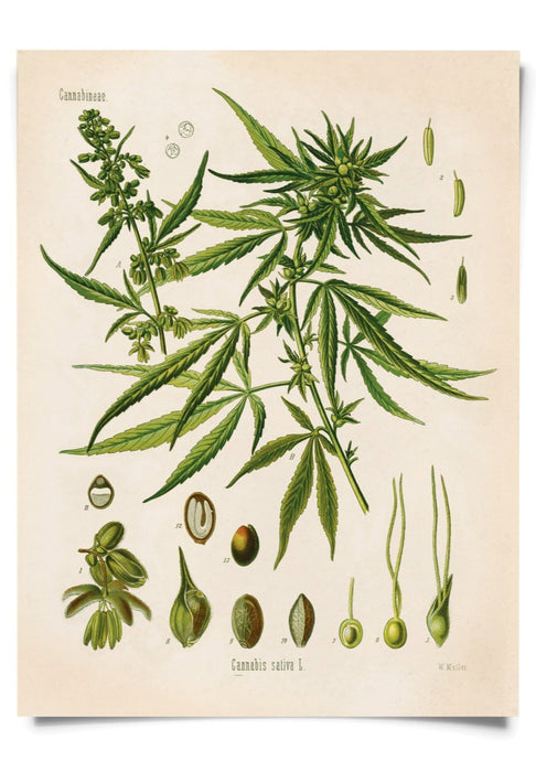 11x14 Print Cannabis Sativa Marijuana - Tigertree
