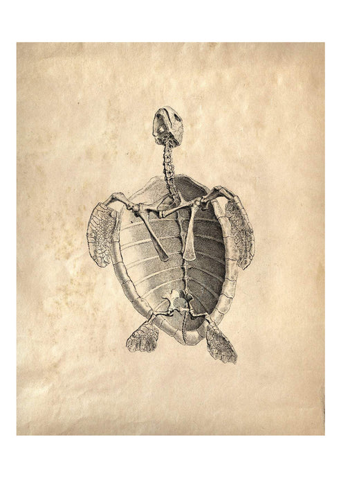8x10 Print Turtle Skeleton - Tigertree