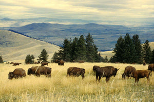 Outfitter Tour - Montana **PREORDER**