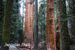 Outfitter Tour - Sequoia Grove **PREORDER**