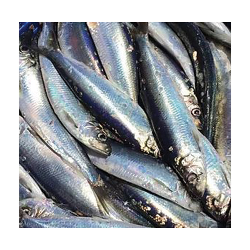 Frozen Atlantic Herring