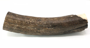 Genuine Large Mastodon Tusk 8 Lbs 16 Inches Long