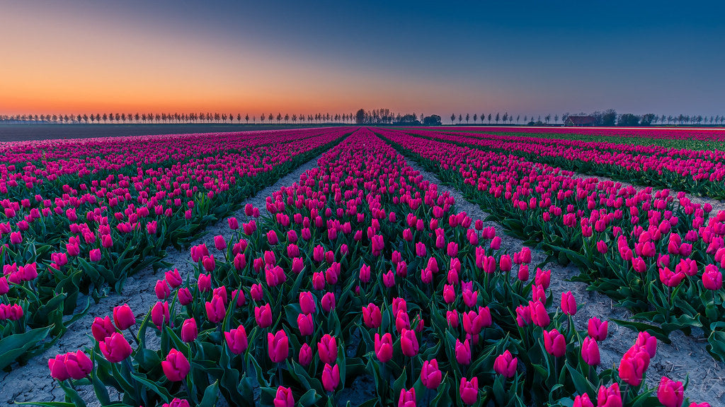 Tulips@Sunset by Marcel Tuit
