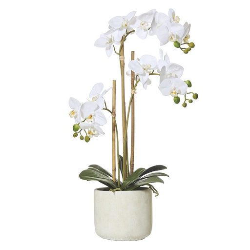 Butterfly Orchid in Smooth Pot