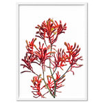 Kangaroo Paw in Red - Art Print