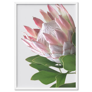King Protea Soft Blush - Art Print