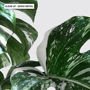 Monstera Variegated Leaves II - Art Print, Stretched Canvas or Framed Canvas Wall Art, Close up View of Print Resolution