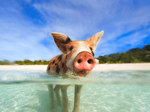 One of the many piglets that live on The Big Major Cay, in The Bahamas