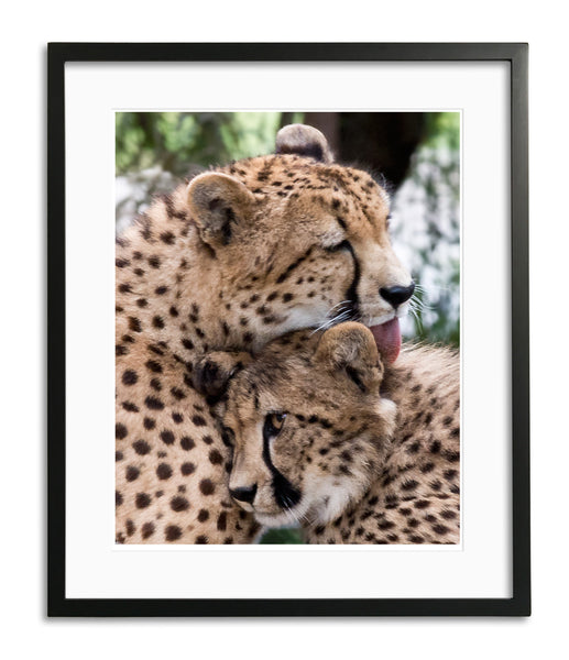 Affection, Cheetah, Kenya, by Robert Ross