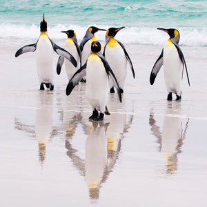 King Penguins, Falkland Islands, by Robert Ross