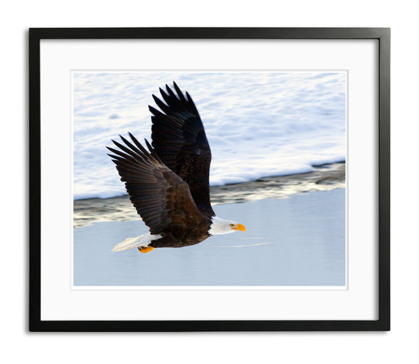 Magnificent Bald Eagle, Haines, Alaska, by Robert Ross
