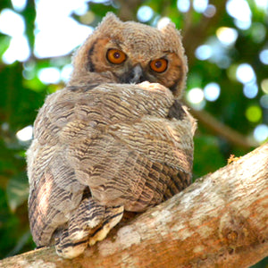 Batman Owl, Long Eared baby Owl, Brazil, by Robert Ross