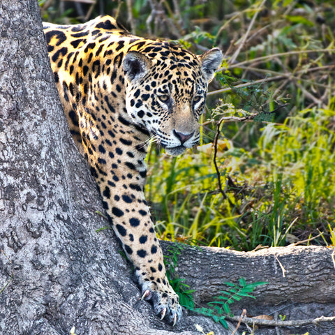 Best Foot Forward, Jaguar, Pantanal, Brazil, by Robert Ross