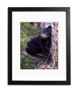 Black Bear Cub, Yellowstone National Park, WY, by Robert Ross, Limited Edition Print