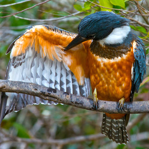 Cleaning, Ringed Kingfisher, Pantanal, Brazil, by Robert Ross