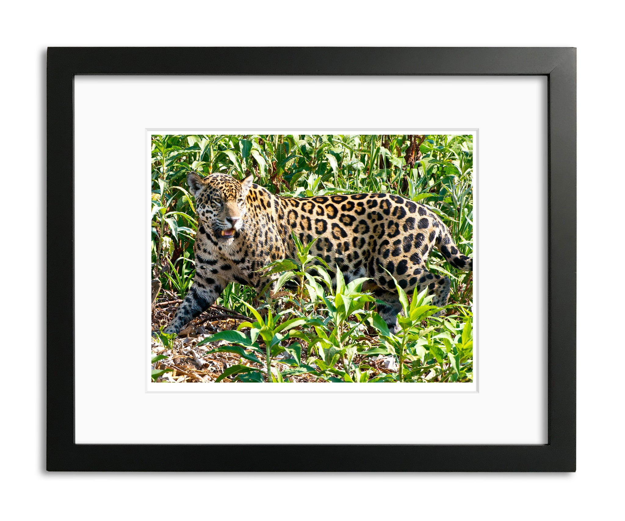 Fierce Cat, Jaguar, Pantanal, Brazil, by Robert Ross