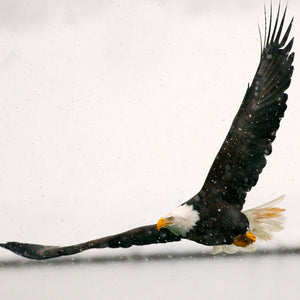 Flying Low, Bald Eagle, Haines, Alaska, by Robert Ross