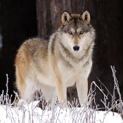 Beautiful Gray Wolf, Alaska, by Robert Ross
