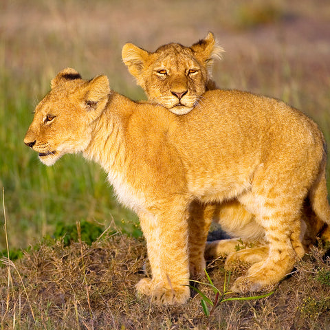 He's Not Heavy He's My Brother, Lion cubs, Tanzania, by Robert Ross