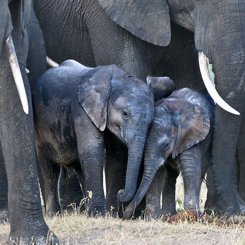 In the Play Pen, Botswana, by Robert Ross