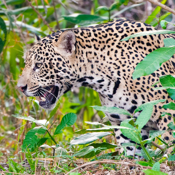 Intense, Jaguar, Pantanal, Brazil, by Robert Ross